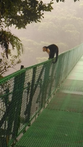 Monkey on the Guided Tour in Hanging Bridges
