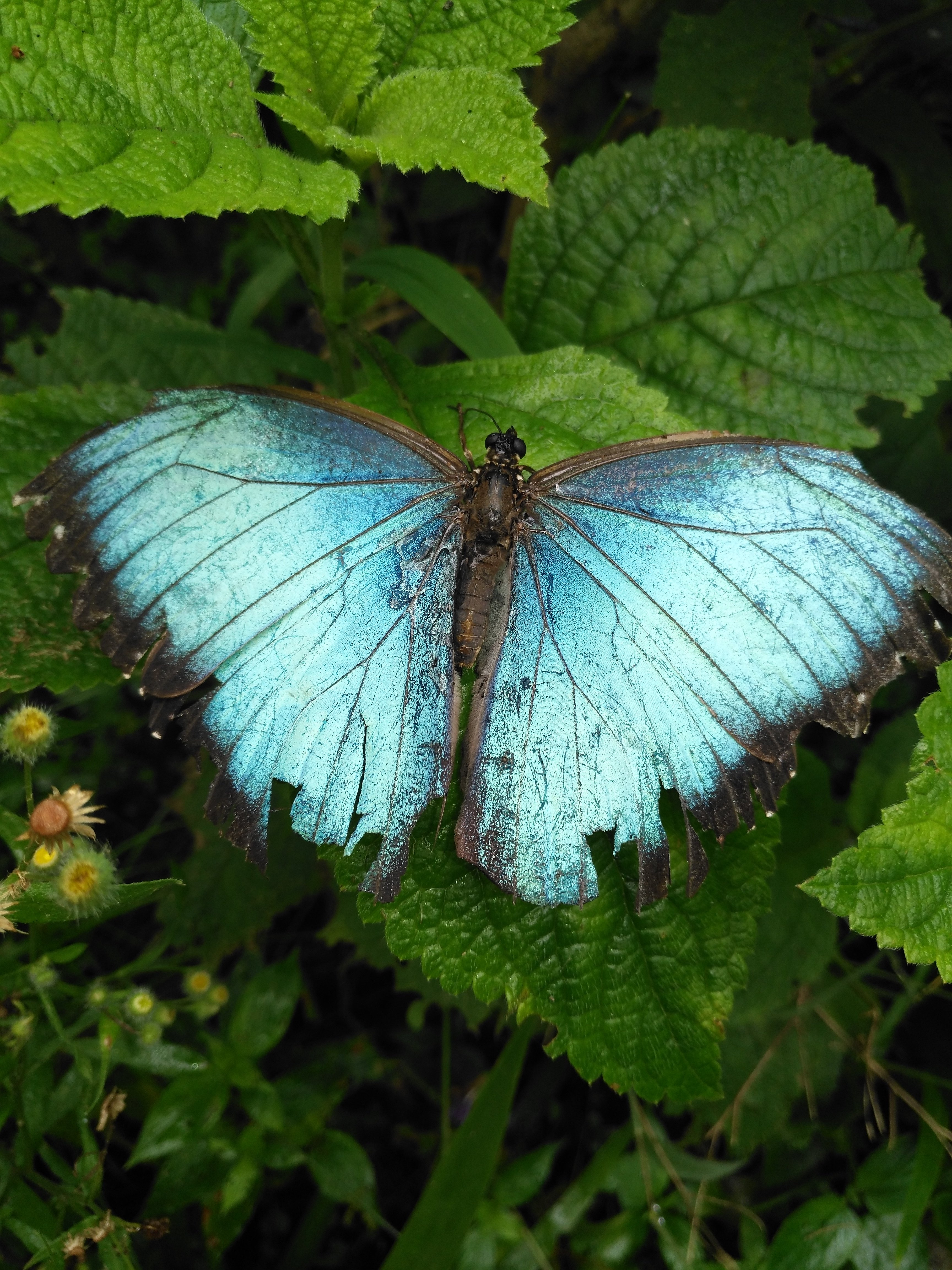 Morpho butterfly in Guided Walk in Hanging Bridges tour